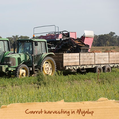 Carrot harvesting in Myalup